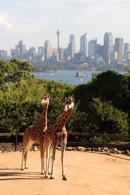 Giraffes in Sydney