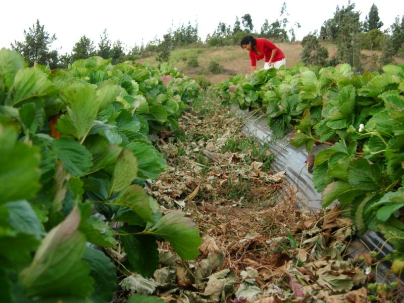 Luminojos: stawberry fields forever