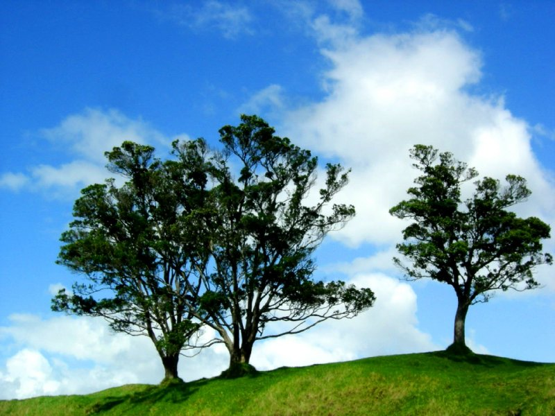 AUCKLAND: three trees