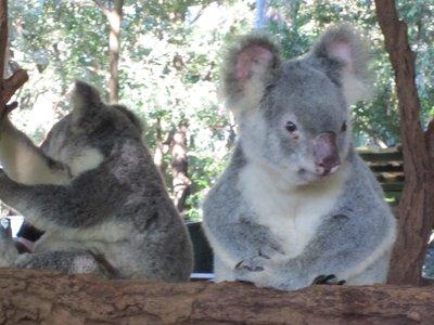 Senior Koalas