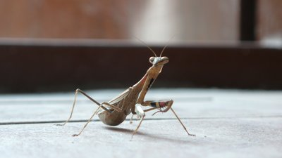 Praying Mantis in Tianjin