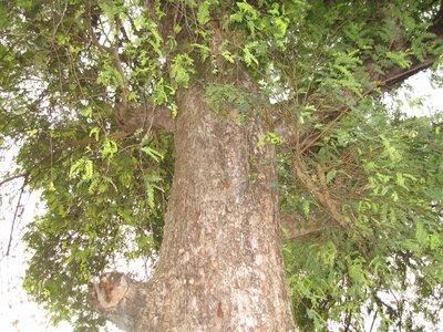 400 years old Tamerind Tree