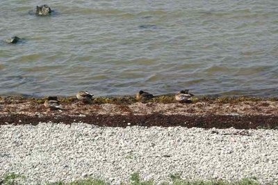 Ducks preening by the seaside