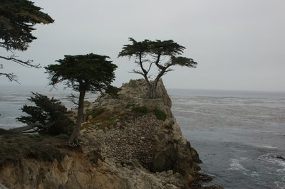 CYPRESS TREE AT PEBBLE BEACH CA