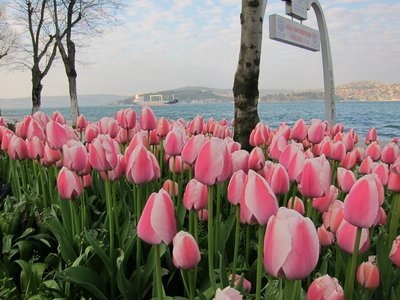 tulips along the Bosporus