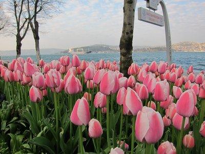 tulips along the Bosporus