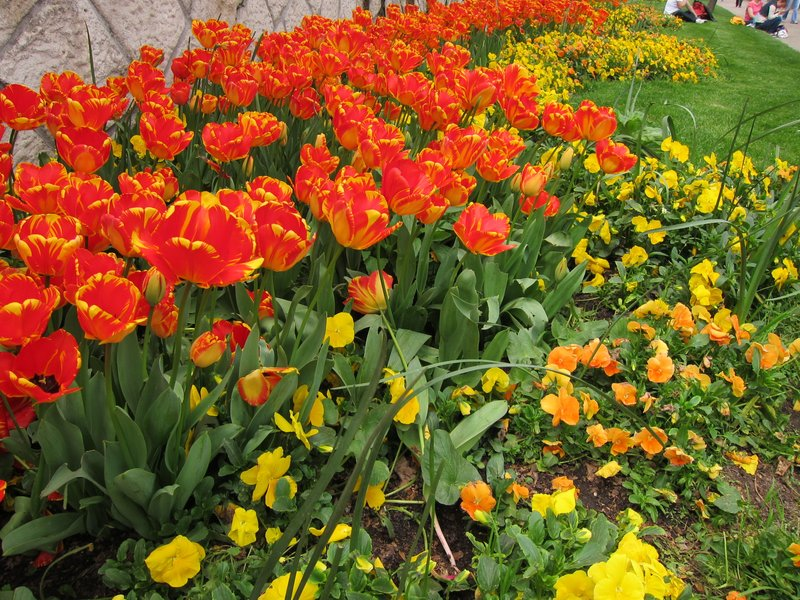 Tulips of Istanbul