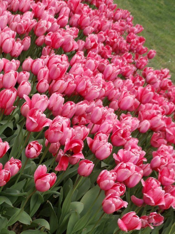 Tulips in Emirgan Park