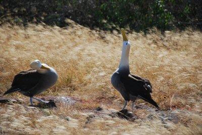 Albatross_dance.jpg