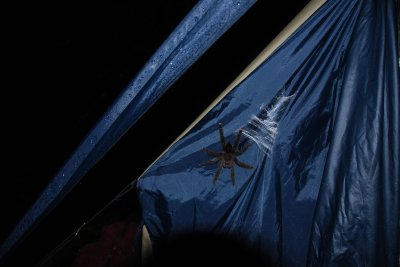 Tarantula_on_tent.jpg