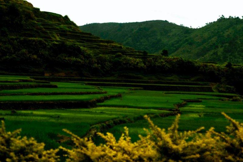 rice tarace