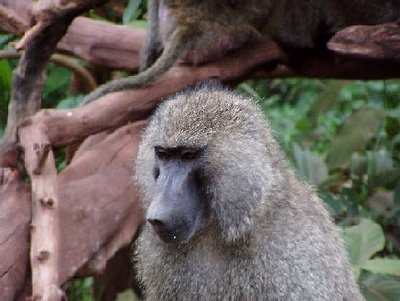 Baboon in Lake Manyara Park