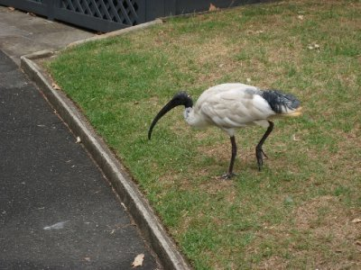 An Ibis, bird with a long beak.