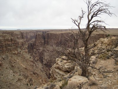 Tree overlooking the Little Colorado River Gorge