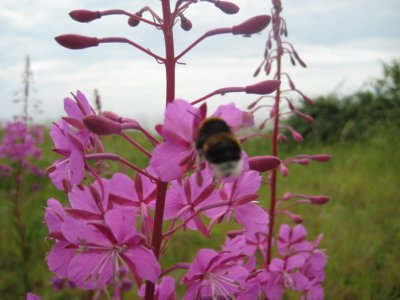 A409_Bee_and_Flower.jpg