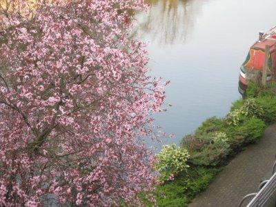 Cherry_Blossoms_3.jpg