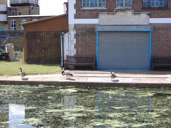 Geese on River Lee Stratford