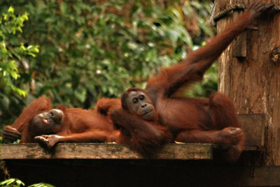 orangs lying down