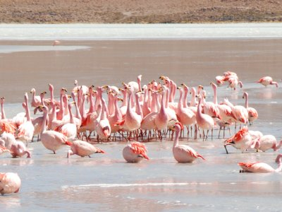 Singing flamingoes