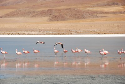 Wild flamingoes on the lake
