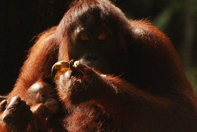 orang and baby 2