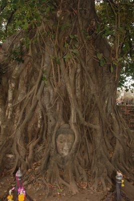 buddah tree2