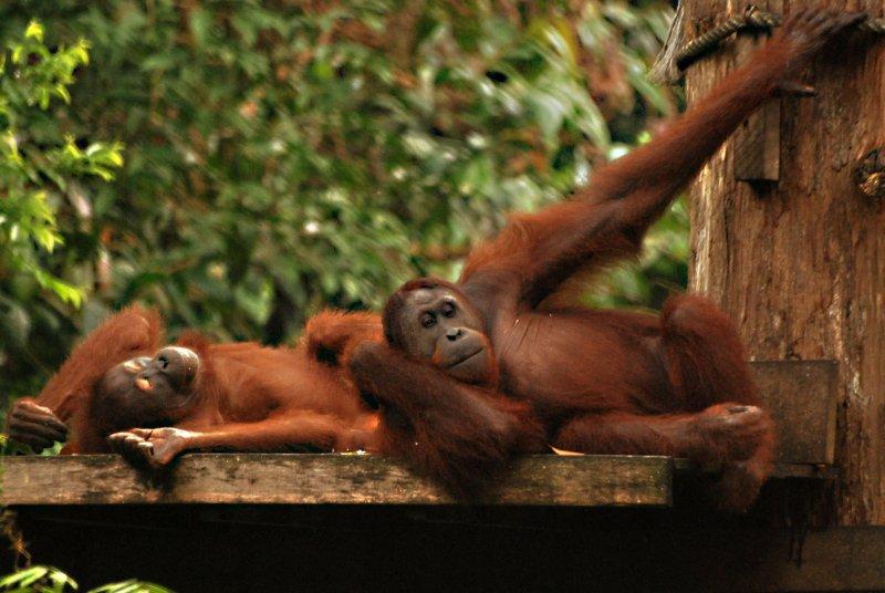 orangs lying down