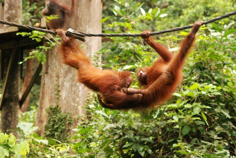 young orangs playing
