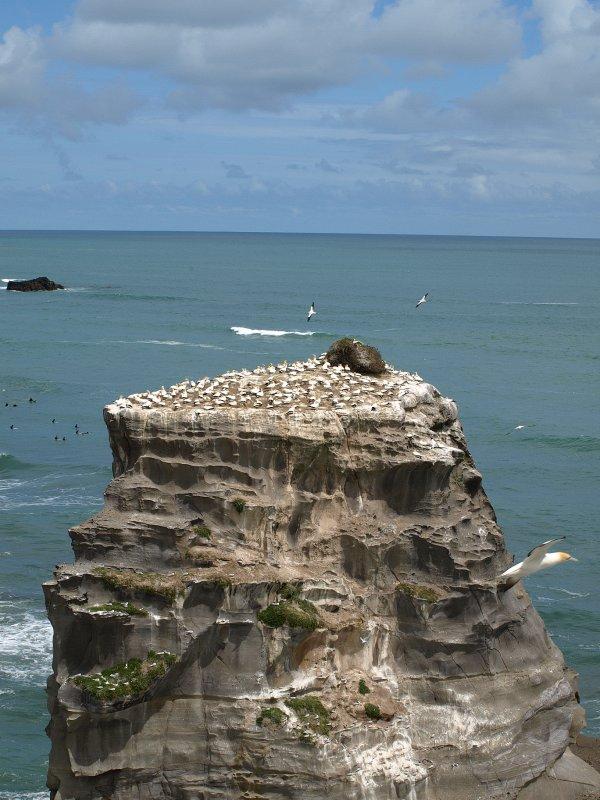 Gannets - Muriwai