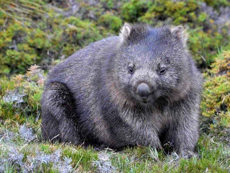 Wombat - soooo cute!