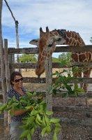 giraffe füttern