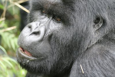 Mountain Gorilla 7