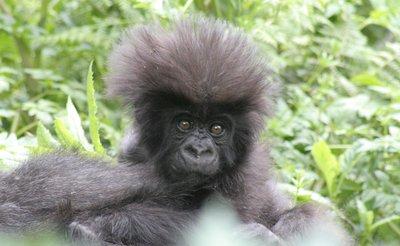 Newborn Gorilla (2 weks old)