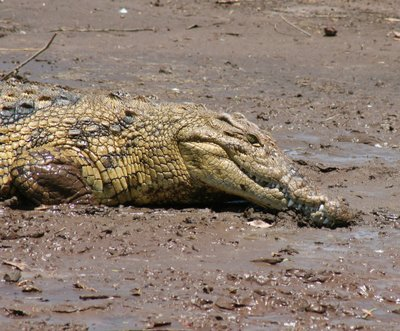 Well fed Croc