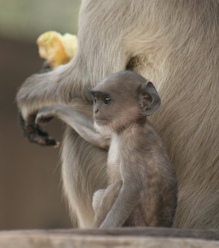 Young Langur Monkey