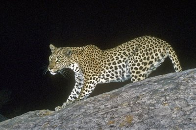 Leopard surprised at night