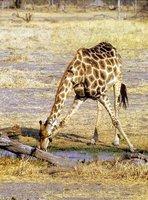 Giraffe drinking, Botswana