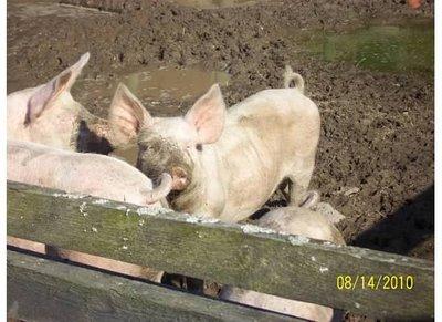 Torso_4__Pigs.jpg