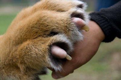 Tiger claw