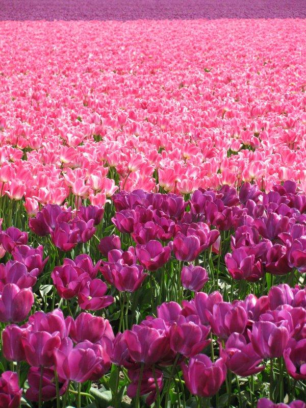 Tulips  ablaze!