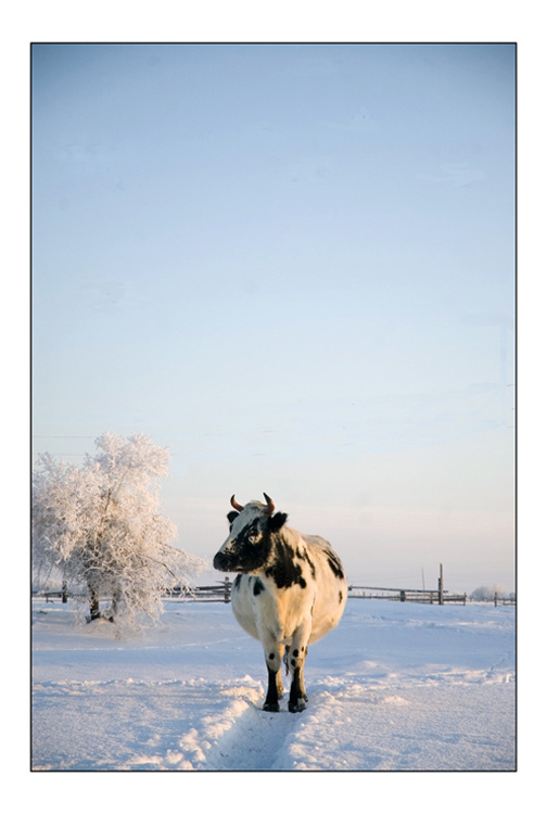 Vache dans le grand nord