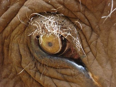 Elefantenauge.jpg