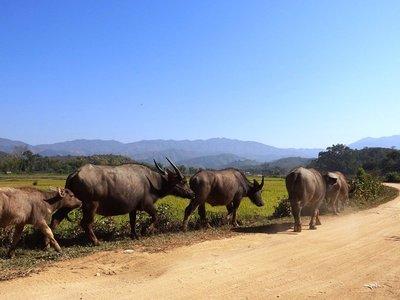 Wasserbüffel und Reisfelder