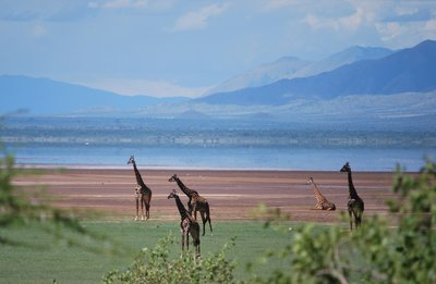 giraffes in the Rift Valley.. Lake Manyara