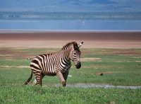 zebra, Lake Manyara