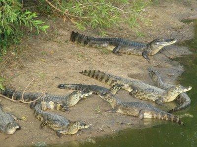 Pantanal_caiman.jpg