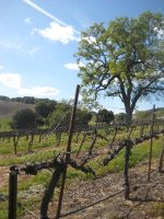 Paso Robles - vineyard