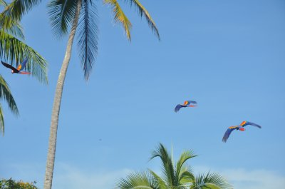 Scarlet Macaws in Drake Bay