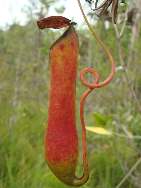 Pitcher plant, Borneo