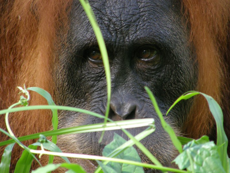 Orang Utan, Sumatra, Indonesia